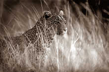 Leopard in high grass